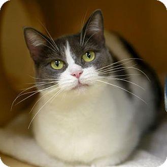 Domestic Shorthair Cat for adoption in Kettering, Ohio - Juniper Berry
