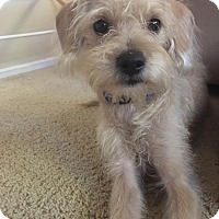 Terrier (Unknown Type, Small)/Poodle (Miniature) Mix Puppy for adoption in Seattle, Washington - Cozmo