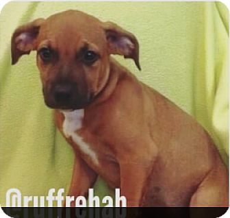 Boxer/Labrador Retriever Mix Puppy for adoption in Pompton Lakes, New Jersey - Chunky Puppy