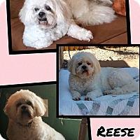 Adopt A Pet :: Reese - Scottsdale, AZ