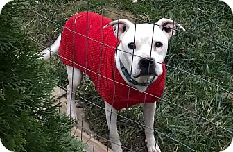 American Bulldog Mix Dog for adoption in Zanesville, Ohio - Rosie