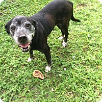 Adopt A Pet :: Rosie Lab - Tampa, FL