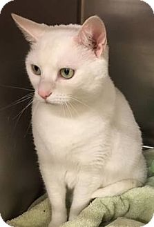Domestic Shorthair Cat for adoption in Alexandria, Virginia - Sour Patch (purrfect deaf girl NEEDS to go home!)