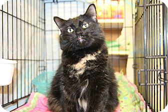 Domestic Shorthair Cat for adoption in Rochester, Minnesota - Jamaica