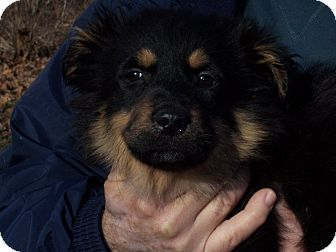 German Shepherd Dog Mix Puppy for adoption in Germantown, Maryland - Harley S