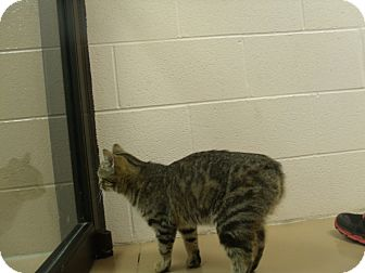 Domestic Shorthair Cat for adoption in Gadsden, Alabama - Ms.Kay