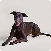 Doberman Pinscher/Labrador Retriever Mix Dog for adoption in Dallas, Texas - Lady