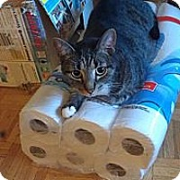 Domestic Shorthair Cat for adoption in Toronto, Ontario - Carter - Foster