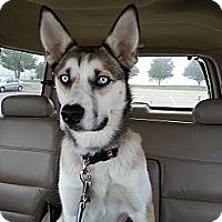 Adopt A Pet :: Daisy - Elkhart, IN