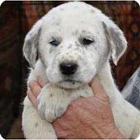 Adopt A Pet :: Allie - New Boston, NH