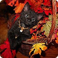 Adopt A Pet :: Bear - Xenia, OH