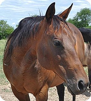 Quarterhorse Mix for adoption in Woodstock, Illinois - Lovie