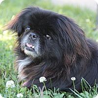 Adopt A Pet :: Pepper Ann - Chantilly, VA