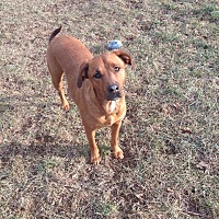 American Pit Bull Terrier/Dachshund Mix Dog for adoption in Winchester, Virginia - Rusty