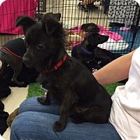 Adopt A Pet :: SOLO - Rancho Cucamonga, CA