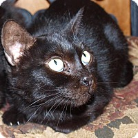 Domestic Shorthair Cat for adoption in Jackson, Mississippi - Ebony