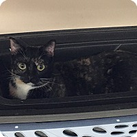 Domestic Shorthair Cat for adoption in Siler City, North Carolina - River