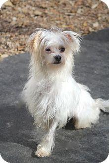 Maltese Mix Dog for adoption in Norwalk, Connecticut - Tibbits