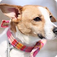 Adopt A Pet :: Bentley - Dillsburg, PA