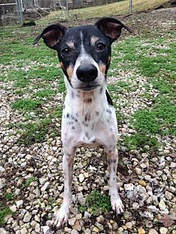 greyhound terrier mix house springs mo rat terrier italian greyhound mix 1259