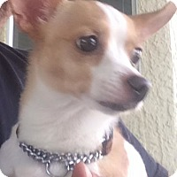 Chihuahua Mix Puppy for adoption in Sacramento, California - Trudy