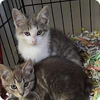 Adopt A Pet :: gray kittens - Pottsville, PA