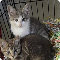 Domestic Shorthair Kitten for adoption in Pottsville, Pennsylvania - gray kittens
