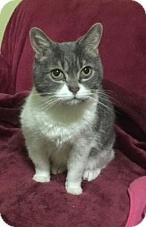 Domestic Shorthair Cat for adoption in Sunderland, Ontario - Angel