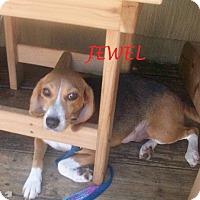 Adopt A Pet :: JEWEL - Ventnor City, NJ