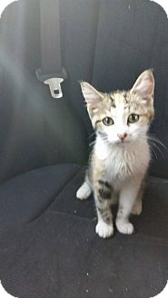 Domestic Shorthair Kitten for adoption in Evansville, Indiana - Olive