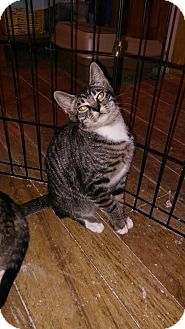 Domestic Shorthair Kitten for adoption in Alamo, California - Doyle