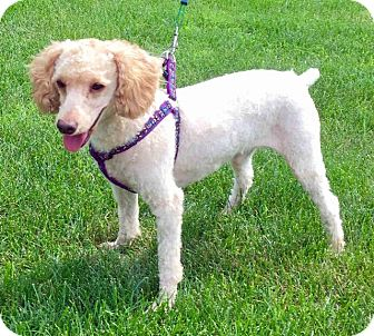 Poodle (Standard) Dog for adoption in Rochester, New York - Jax