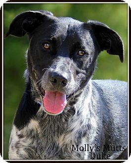 Blue Heeler/Labrador Retriever Mix Dog for adoption in Dixon, Kentucky - Duke