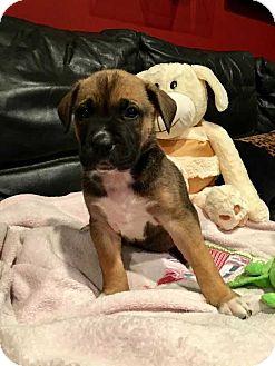Boxer/Pit Bull Terrier Mix Dog for adoption in Thompson, Pennsylvania - Bella