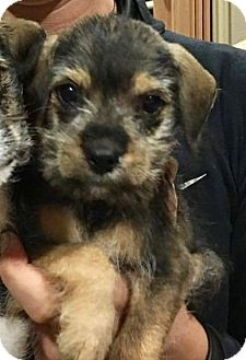 Terrier (Unknown Type, Small) Mix Puppy for adoption in San Antonio, Texas - Reese