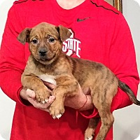 Adopt A Pet :: Hercules - Gahanna, OH