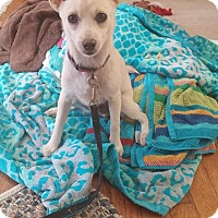 Pomeranian/Chihuahua Mix Dog for adoption in Anderson, South Carolina - Chaucer