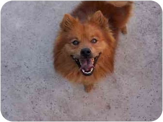 pomeranian chow chipper adopted dog adoption pending sacramento ca 105