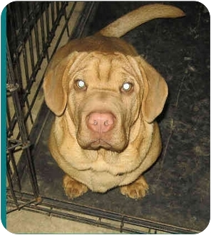 Basset Hound/Shar Pei Mix Puppy for adoption in Columbus, Ohio - Diesel