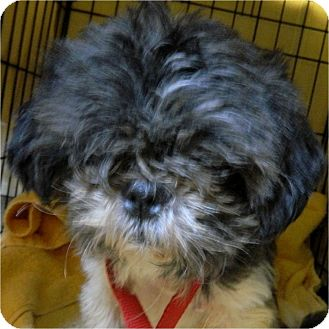 Shih Tzu Dog for adoption in Mays Landing, New Jersey - Tazo-DE