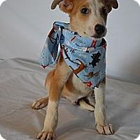 Adopt A Pet :: Red - Aurora, CO