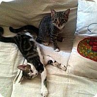 Adopt A Pet :: Marcel - Brooklyn, NY