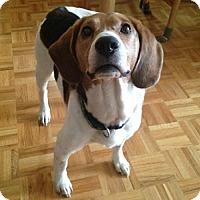 Adopt A Pet :: Chopper - Hamilton, ON