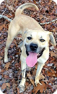 Anatolian Shepherd/Black Mouth Cur Mix Dog for adoption in Plainfield, Connecticut - Maggie