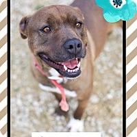 Adopt A Pet :: Copper (reduced fee!) - Brattleboro, VT