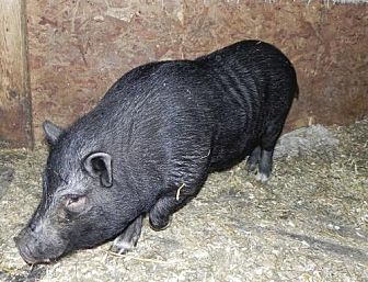 Pig (Potbellied) for adoption in Woodstock, Illinois - Bart