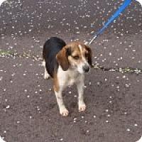 Adopt A Pet :: Bea - Dumfries, VA