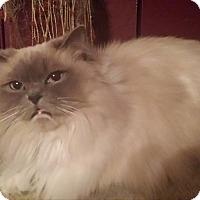 Adopt A Pet :: Aemelie- purebred - Ennis, TX