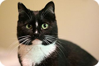Domestic Shorthair Cat for adoption in New Prague, Minnesota - India