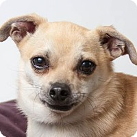 Chihuahua Mix Dog for adoption in Colorado Springs, Colorado - Baldwin